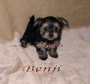 Yorkie teacup X Maltese puppy is sold to Chenelle & hubby