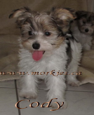 Morkie puppy for sale at http://www.morkies.ca