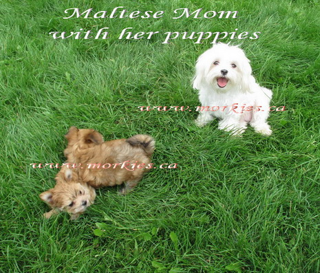Maltese mom supervising her morkie puppies at www.morkies.ca