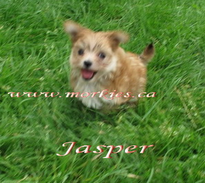 Jasper gorgeous tiny Morkie female is sold to Michelle from Ottawa www.morkies.ca