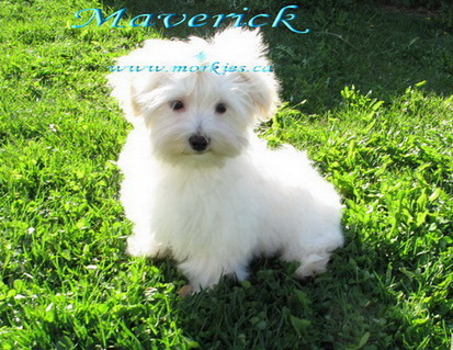 Sweet temperament morkie male Maverick only at www.morkies.ca