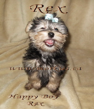 Laughing Morkie puppy Rex is sold http://www.morkies.ca