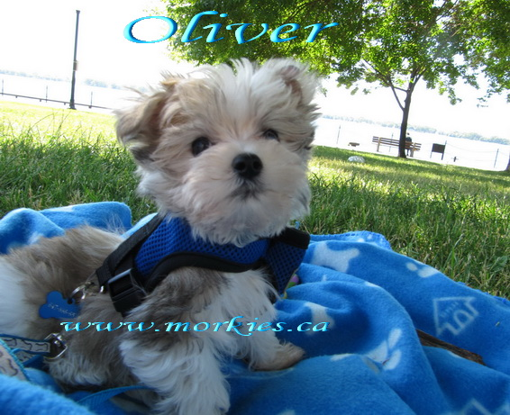 Oliver Morkie sold to Susan http://www.morkies.ca