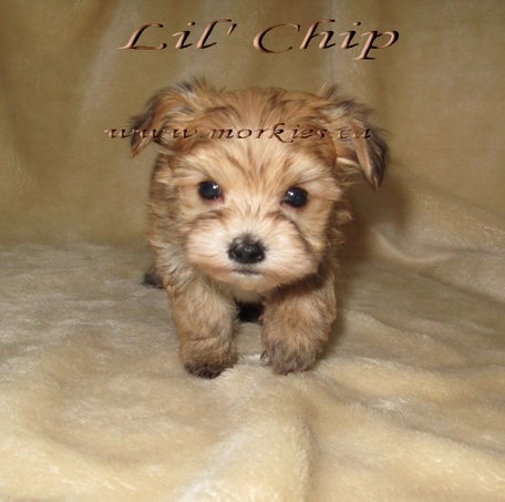 Cutest Teacup Yorkie Morkie for sale at http://www.teacupmorkies.com
