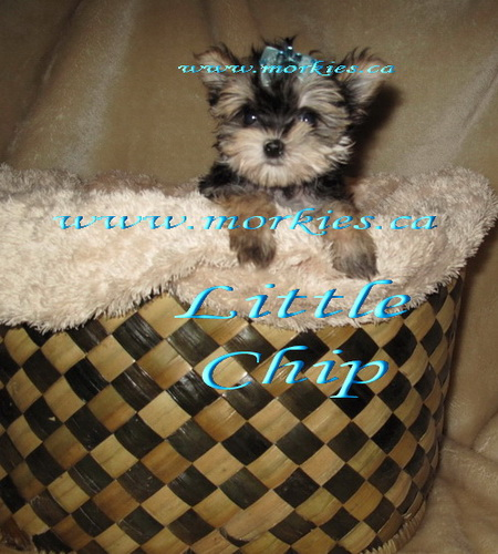 Teacup Morkie Chip is sold http://www.morkies.ca