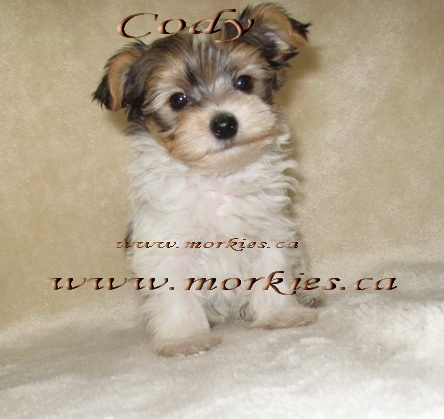 Gorgeous morkies for sale at http://www.morkies.ca